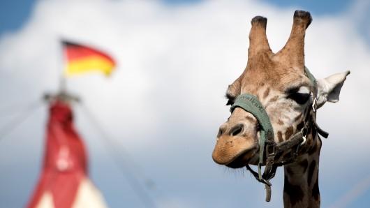 Eine Giraffe des Zirkus Voyage. (Archivbild)