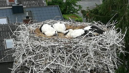 Vier wohlernährte Jungstörche warten im Nest auf ihr Ringe.