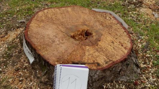 Nach unserer Begutachtung ist lediglich ein Baum nicht mehr standsicher, weil der Pilz bereits in den äußeren Holzring eingedrungen ist, so BIBS-Ratsherr Wolfgang Büchs.