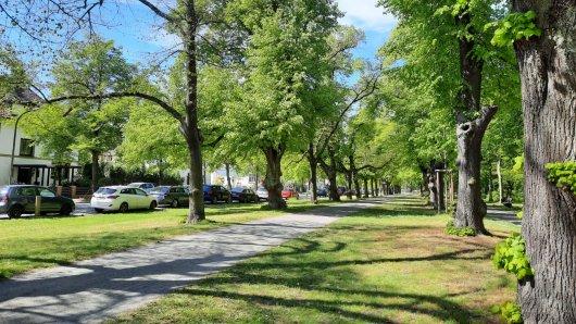 Die Stadt Braunschweig sorgt sich um Hunderte Bäume. Schlimmstenfalls müssen sie alle gefällt werden. Unter anderem mehrere Altbäume an der Georg-Westermann-Allee sind gefährdet.