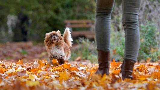 Ein Hund in Braunschweig hat in einem herbstlichen Laubhaufen eine ziemlich unschöne Entdeckung gemacht. Sein Frauchen konnte gerade noch rechtzeitig reagieren. (Symbolbild)