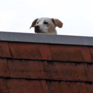 Am Donnerstagabend rückte die Feuerwehr Braunschweig mit einer Drehleiter einem Hund auf die Pelle – aus gutem Grund! ( Symbolbild)