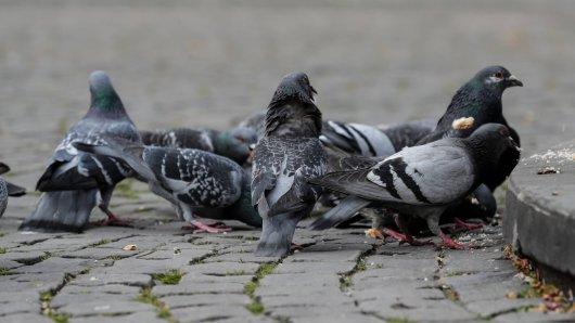 Braunschweig: Nein, man muss Tauben nicht mögen. Aber anzünden muss man sie erst recht nicht! (Symbolbild)