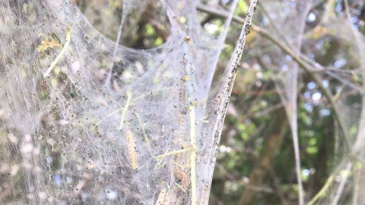Braunschweig: Mysteriöse Netze ziehen sich über die Bäume.