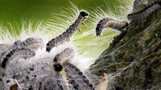 Das Nesselgift in den Härchen der Raupen ist für Menschen gefährlich. (Archivbild)