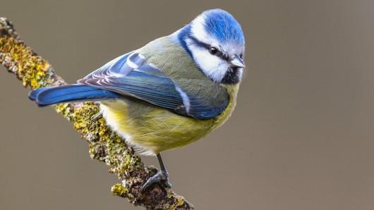 Eine Blaumeise – 2017 hatten Vogelfreunde rund 2,8 Millionen Vögel gemeldet.