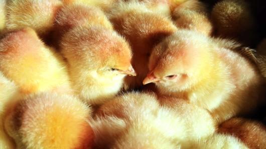 Männliche Küken – bisher werden die Hähnchen aussortiert und zu Tierfutter verarbeitet, weil die Mast länger dauert und teurer ist.