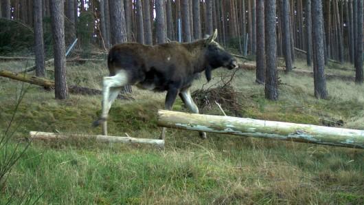Da ist er: Ein Elch läuft durch ein Waldgebiet im Fläming, aufgenommen mit einer Wildkamera.