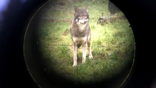 Ein Landwirt aus dem Landkreis Gifhorn befürchtet, dass mindestens ein Wolf auf seiner Weide Tiere reißt (Symbolbild).