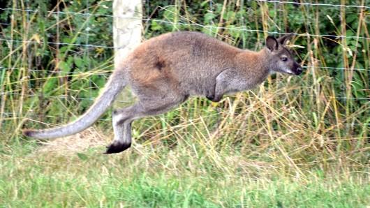 Känguru Jimmy ist auf den Reiterhof in Ottersleben zurückgekehrt (Symbolbild).