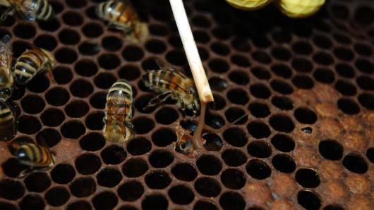 Um andere Bienenvölker nicht zu gefährden, wurde ein Gebiet um den betroffenen Bienenstand zum Sperrbezirk erklärt (Archivbild).