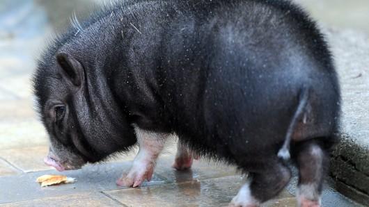 Ein kleines Hängebauchschwein mit Hunger (Archivbild).