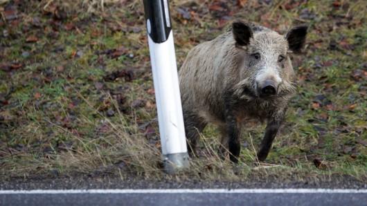 Ein Paar aus Braunschweig hatte eine nächtliche Begegnung mit einem Wildschwein (Symbolbild).