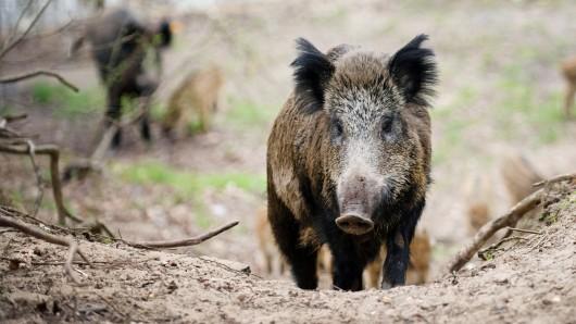 Das neue Jagdgesetz ermöglicht es der Landesregierung, bei Ausbruch der Afrikanischen Schweinepest diverse Verbote für die Jagd auf Wildschweine aufzuheben (Symbolbild).