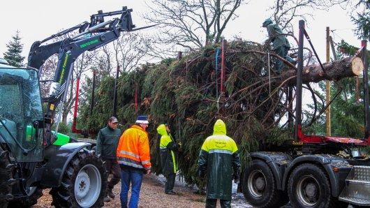 Fünf Wochen vor Heiligabend läuft die Ernte der Weihnachtsbäume. Die Preise sollen trotz des extrem trockenen Sommers auf dem Niveau des Vorjahrs bleiben. Eine besondere Fichte für Berlin wird aus dem Harz geliefert (Archivbild).