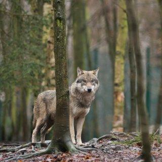 Ein Wolf im Wald. (Symbolfoto)