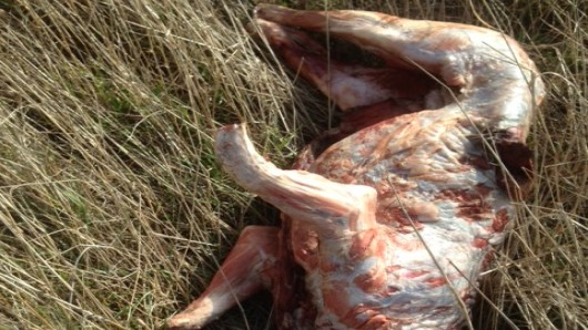 Dieser Kadaver wurde am Samstagnachmittag in der Nähe von Klein Biewende auf einem Feldweg gefunden.