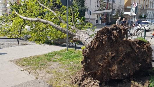 Ein Silberahorn-Baum fiel am Dienstag in der Jasperallee in Braunschweig.