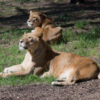 Zwei vom Rudel in einem gesonderten Gehege separierte Löwen (nicht im Bild) haben einen Tierpfleger angegriffen und schwer verletzt.