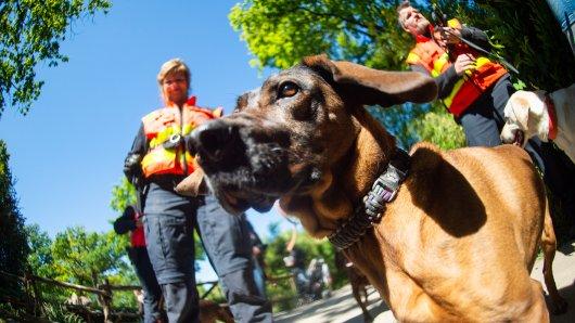Die Personenspürhunde der Polizei werden im Zoo trainiert, um sich in Umgebungen mit starken Gerüchen nicht ablenken zu lassen. Das hier ist Hummel, eine acht Jahre alte Hannoversche Schweißhündin.