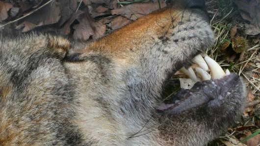 In Klein Ilsede im Landkreis Peine ist ein toter Wolf entdeckt worden (Archivbild).