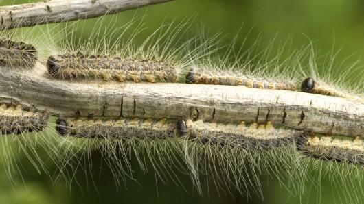 Der Eichenprozessionsspinner liebt Wärme und bevorzugt freistehende und von der Sonne beschienene Einzelbäume. Im Mai schlüpfen die Raupen, die sich tagsüber in den Nestern verstecken. Abends wandern sie als Prozession vom Nest in die Baumkrone und fressen die Blätter.