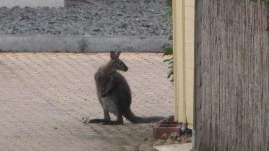 Das Känguru hat die Polizei und Feuerwehr am Samstag ganz schön auf Trab gehalten.
