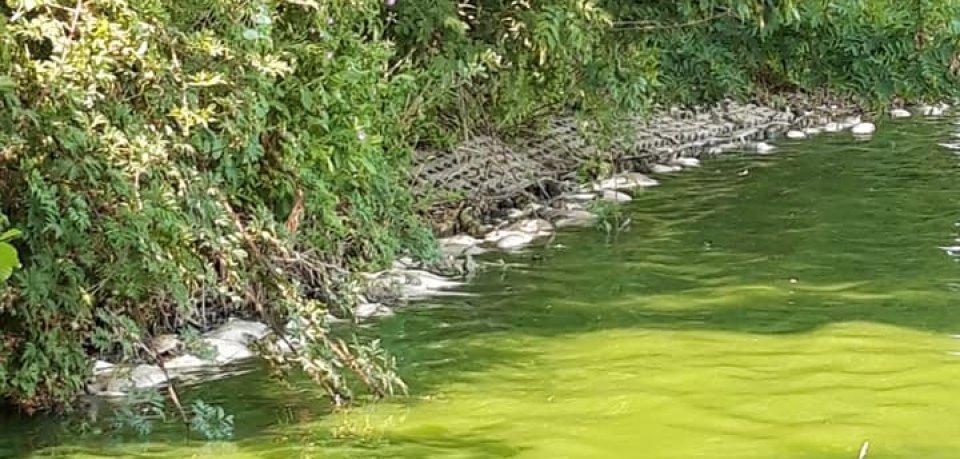 Auch Blaualgen sind ein großes Problem im Neuen Teich.