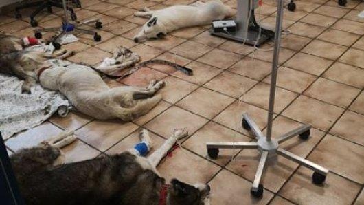 Die Huskys aus Herzberg am Harz kämpfen in der Tierklinik um ihr Leben. Zwei haben den Kampf verloren.