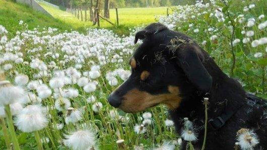 Ein Hund hat im Kreis Gifhorn einen Giftköder gegessen. Ronja hat den Überlebenskampf verloren.
