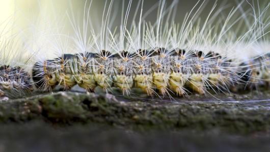 Die Raupe eines Eichenprozessionsspinners kriecht auf einem Eichenstamm entlang...