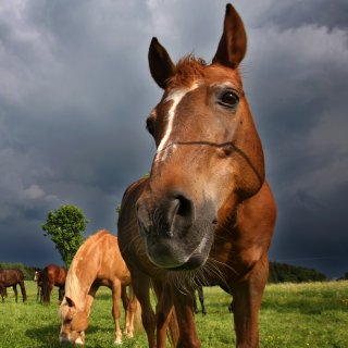 In Gifhorn sind drei Pferde verletzt worden. Ein Tierarzt ist sich sicher: Die Pferde mussten leiden. (Symbolbild)