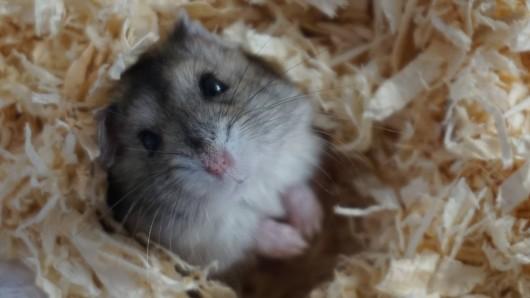 Fast schon ein Hundeblick: Einer der Hamster, der in Vollbüttel wohnt.