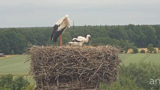 Der kleine Storchen-Nachwuchs trainiert bereits seine Flügelchen.