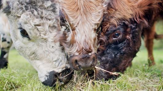 Galloway-Rinder fressen sich auf einer Weide satt (Archivbild).