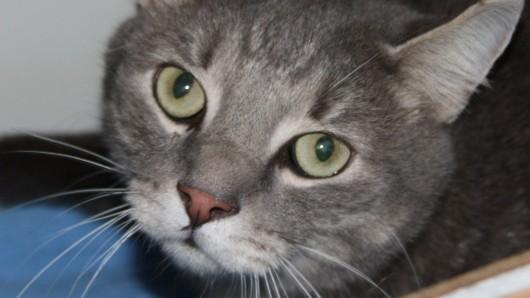 Kater Bobik wurde vor einigen Tagen wieder ins Tierheim gebracht.