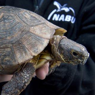 Eine griechische Landschildkröte wird im NABU-Artenschutzzentrum Leiferde gezeigt. Die Nabu-Verantwortlichen wollen am Donnerstag berichten, dass immer mehr Wildtiere wie Igel, Frösche oder Jungvögel aus falsch verstandener Tierliebe eingesammelt und im Artenschutzzentrum abgegeben werden.