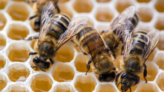 Die Amerikanische Faulbrut in Gifhorn und Peine breitet sich leider aus. Tausende Bienen sind in Gefahr. (Symbolbild)