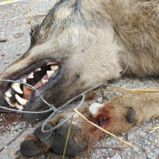 Die Wölfin hatte eine Drahtschlinge um den Hals.
