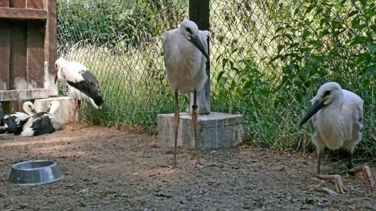 Das Nabu-Team aus Leiferde (Kreis Gifhorn) kümmert sich im Storchenkindergarten liebevoll um die geschwächten und verletzten Jungvögel.