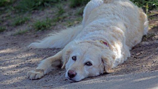 Ein Mann aus Gifhorn hat seinen Hund fast leblos am Boden gefunden. Die Polizei hat einen grausamen Verdacht. (Symbolbild)