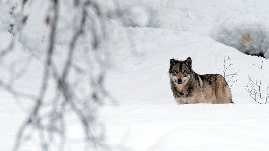 Gifhorn: Ein Mann will in Flettmar einen Wolf gesehen haben. (Symbolbild)