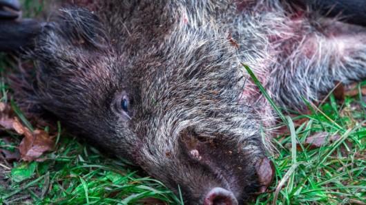 Ein erlegtes Wildschwein liegt auf einer Wiese.