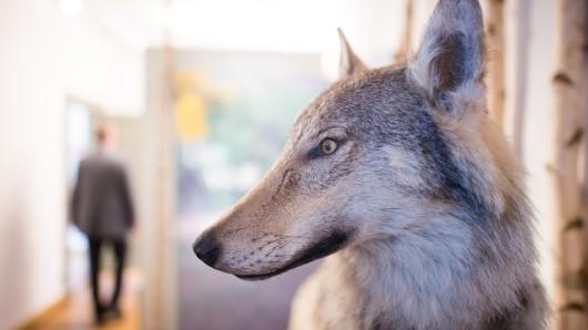 Wolfsrüde Kurti steht im Eingangsbereich des Harzmuseums Wernigerode. Das Tier war 2014 in der Lüneburger Heide geboren worden und wurde Anfang 2016 getötet , nachdem es durch seine sehr geringe Scheu gegenüber dem Menschen aufgefallen war.
