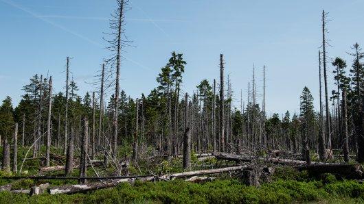 Im Nationalpark Harz nahe dem Torfhausmoor liegen zahlreiche Fichten, die vom Borkenkäfer zerstört wurden.