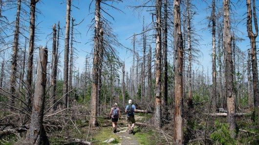 Auch der Wurmberg im Harz leidet enorm an den Folgen der beiden Dürre-Jahre. (Archivbild)