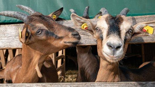 Im Harz wollte eine Ziegen-Herde in einem Supermarkt einkaufen gehen. Nur ein dummer Zufall hinderte die tierischen Ausbrecher aus Wolfshagen daran... (Symbolbild)