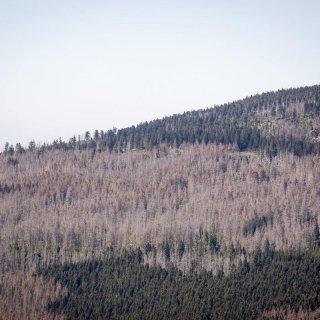 Nach Einschätzung von Umweltschutzorganisationen und Forstfachleuten vermehren sich Baumschädlinge durch den Klimawandel explosionsartig.