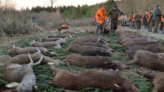 Jäger schleppen bei einer Drückjagd ein Wildschwein, um es auf die Strecke zu legen (Archivbild).
