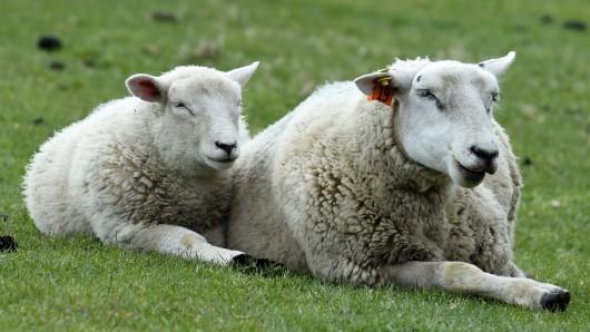 Zwei Schafe entspannen. (Symbolbild)